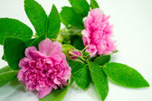 Tornedal rose (Rosa majalis) — Stock Photo