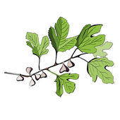 Stylized colored drawing of a branch of fig tree — Stock Vector