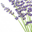 Stock Photo: Lavender flowers (Lavandulangustifolia)