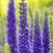 Blue flowering Spiked Speedwell (Veronica ulster), shallow DOF — Stock Photo