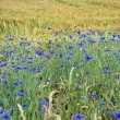 Stock Photo: Cornflowers in Bavaria, Germany