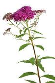 Meadowsweet (Spiraea japonica) flower — Stock Photo