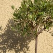 Stock Photo: Small Oleeuropetree casting shaddow