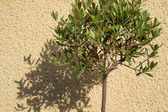 Small Olea europea tree casting shaddow — Stock Photo