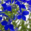 Stock Photo: Blue lobeli(Lobelierinus) closeup