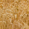 Wheat field closeup, format filling — Stock Photo