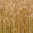 Royalty-Free Stock Photo: Wheat field closeup, format filling