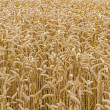Wheat field closeup, format filling — Stock Photo