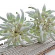 Blooming Edelweiss Flower (Leontopodium alpinum) — Stock Photo