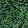 Thuja green as background — Stock Photo #11804040
