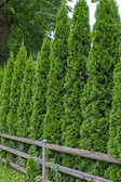 Thuja fence — Stock Photo