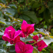 Red Bougainvillea, closeup — Stockfoto #11810199