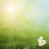 Daisy on a green field — Stock Photo