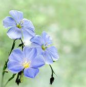 Flax flowers — Stock Photo