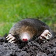 Stock Photo: Mole in sand