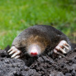 Mole in sand - Stock Photo