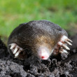 Mole in sand — Stock Photo