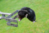 Mole in exterminator — Stock Photo