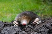 Mole in sand — Stock Photo