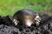 Mole in sand — Stock fotografie