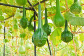 The gourds in the garden. — Stockfoto