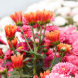 Pink chrysanthemum flowers — Stock Photo #10827868