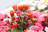 Pink chrysanthemum flowers — Foto de Stock