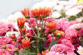 Flores de crisântemo rosa — Foto Stock