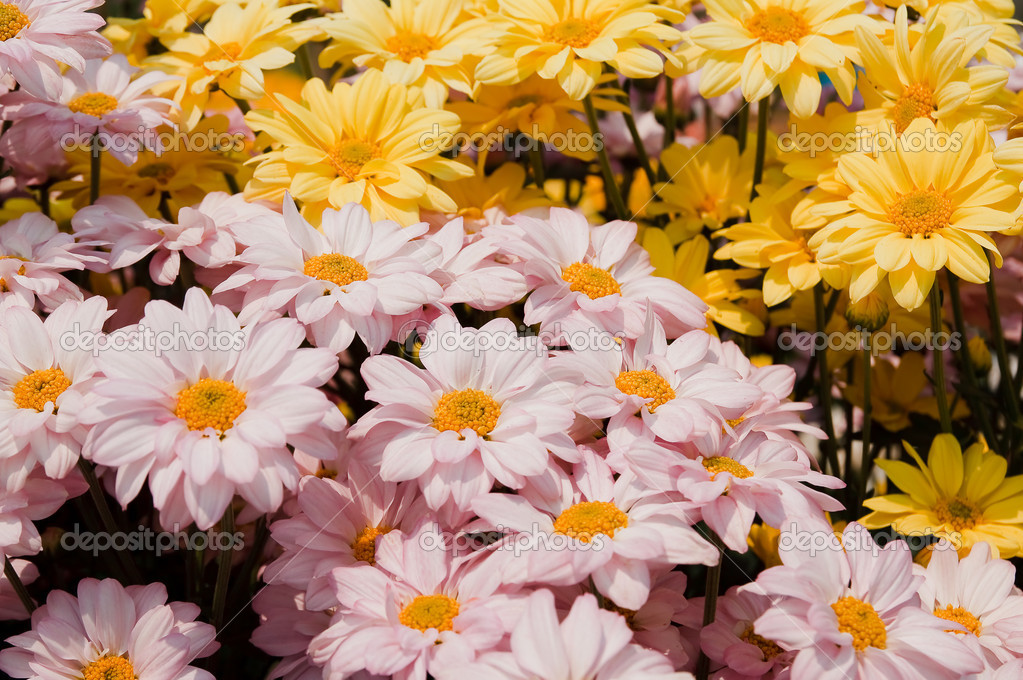 Pink chrysanthemum flowers — Stock Photo #10890329