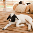 Young lamb in farm — Stock Photo