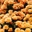 The beautiful of Chrysanthemum flowers - Stock Photo