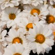 White chrysanthemums flowers - Stock Photo