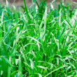 Green seedlings of cereal crops in the field - Stock Photo