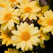 Stock Photo: Beautiful yellow chrysanthemum flowers