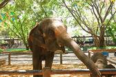 Thai elephants. — Stock Photo