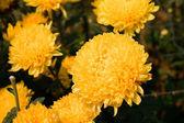 красивые желтые хризантемы — Стоковое фото