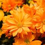 Beautiful yellow chrysanthemum flowers — Stock Photo