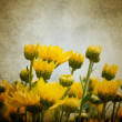 Beautiful yellow chrysanthemum flowers — Stock Photo