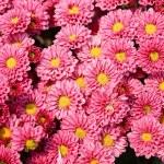 Pink chrysanthemum flowers — Stock Photo #11081927