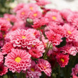 Pink chrysanthemum flowers — Stock Photo #11081987