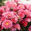 Pink chrysanthemum flowers — Stock Photo #11081987
