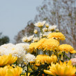 Stock Photo: Flowers of yellow chrysanthemums