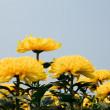 Beautiful yellow chrysanthemum flowers — Stock Photo #11153933