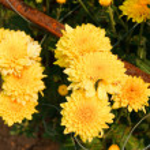 Beautiful yellow chrysanthemum flowers — Stock Photo #11154069