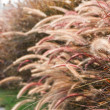 Grass Plumes — Stock Photo