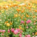 Beautiful yellow chrysanthemum flowers — Stock Photo #11154358