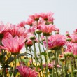 Stock Photo: Pink chrysanthemum flowers