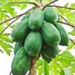 Bunch of papayas hanging from the tree — Stock Photo #11156067