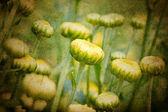 美丽黄色菊花 — 图库照片