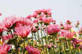Pink chrysanthemum flowers — Stockfoto